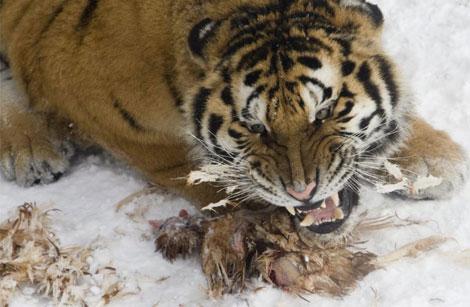 Un Tigre Mata A Zarpazos A Su Dueño Portada Elmundo Es