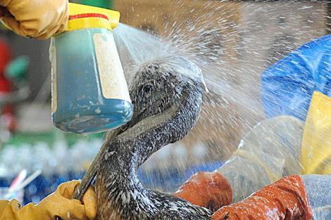 Lavado de un pelícano cubierto de crudo.|El Mundo