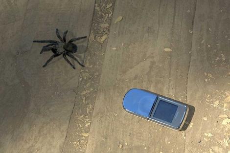 Una tarántula chilena o 'araña pollito'. | J. B.