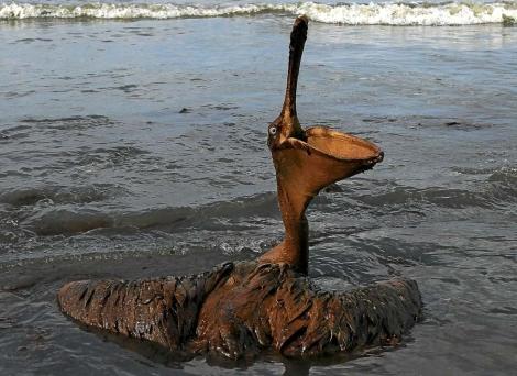 Pelícano afectado por la marea de crudo.   Afp