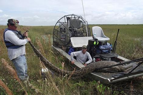 La pitón capturada en los Everglades.   Sun Sentinel