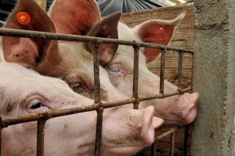 Cerdos en una granja similar a la abandonada.  Efe