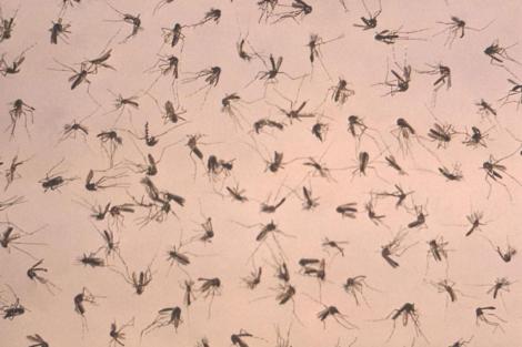 Parte de los mosquitos estudiados como responsables del virus del Nilo. | Efe