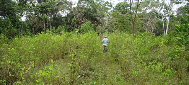 Cultivo de coca ilegal en la región de Putumayo.   Salud Hernández-Mora