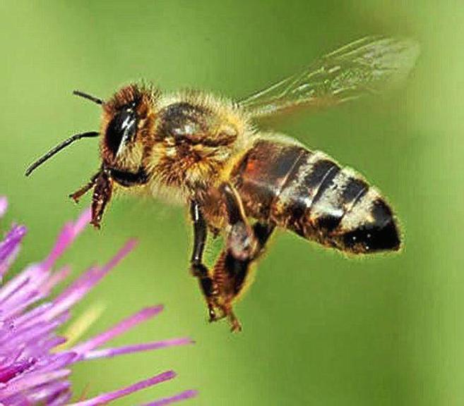 Una abeja a punto de aterrizar en una flor.  