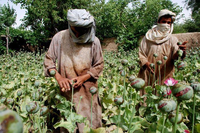 Agricultores afganos recolectan opio en la provincia de Helmand.