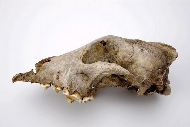 Fósil de perro prehistórico hallado en Goyet (Bélgica) y con una...