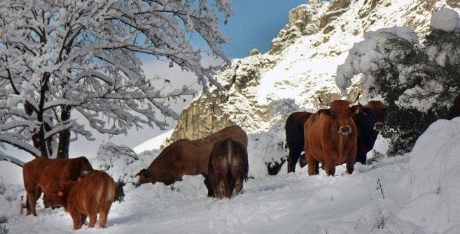 Varias vacas entre la nieve,  en el puerto asturiano de San Isidro.