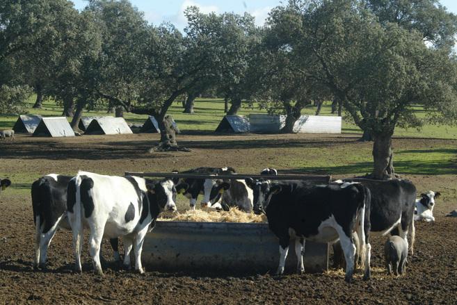 Vacas en el Valle de los Pedroches, Córdoba.