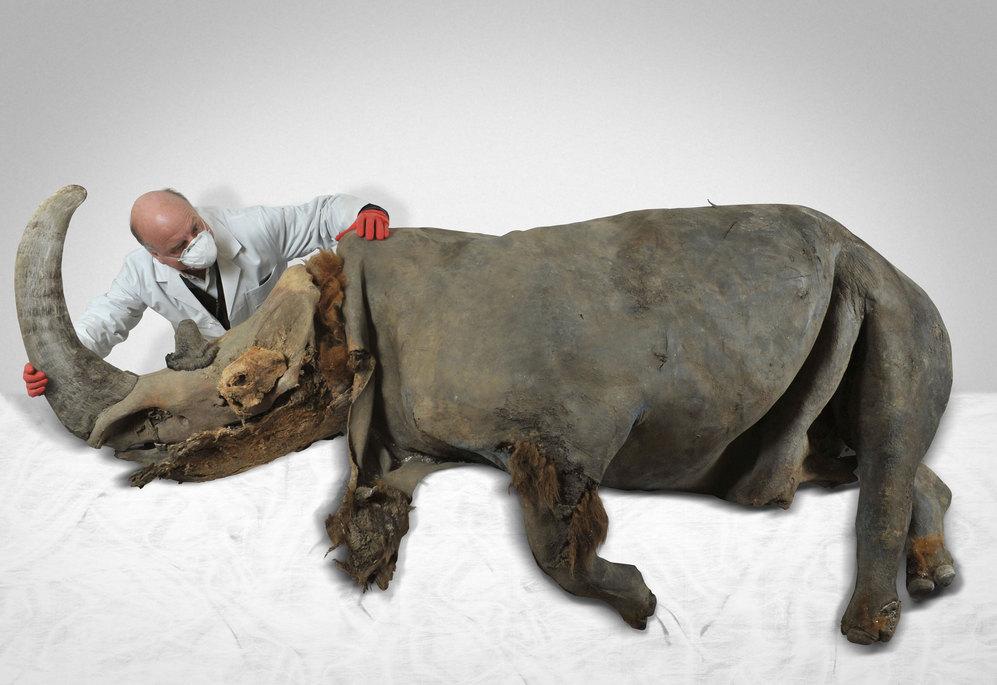 Bernard Buigues examina a Chersky, el rinoceronte lanudo hallado bajo...