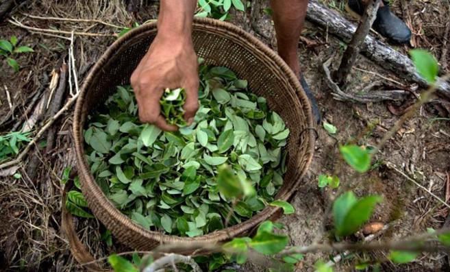 Un agricultor sujeta una cesta de hojas de coca.