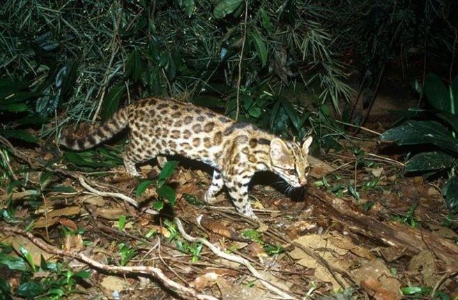 El nuevo felino descubierto (Leopardus guttulus)./ Tadeu Oliveira,...