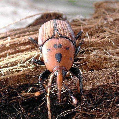 El escarabajo picudo rojo.