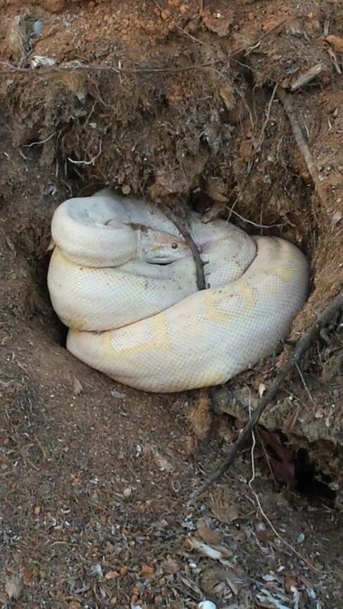 La serpiente hallada en la localidad ibicenca de Sant Jordi.