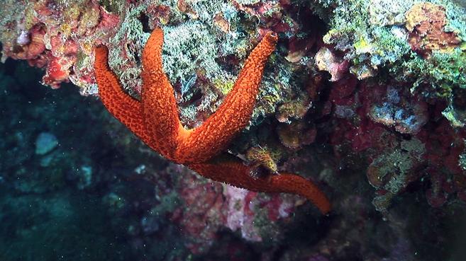 Una estrella del mar en el Mediterráneo. |