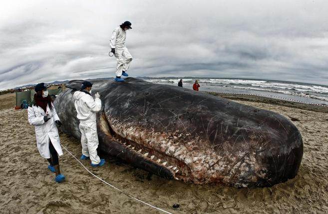 La reproducción del cachalote, en la playa de las Arenas, en...