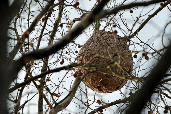Nido de avispa asiática construido en las ramas de un árbol.