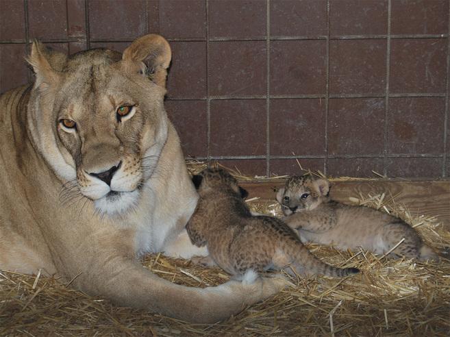 Imagen de dos cachorros de león nacidos en septiembre y difundida en...