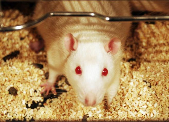 Un ratón de laboratorio en el animalario de la Universidad...