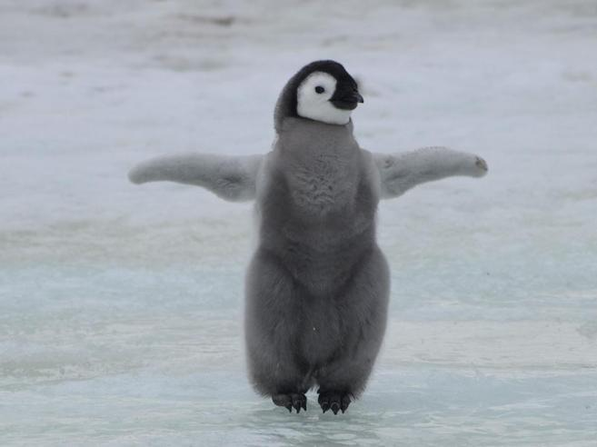 El pingüino emperador ('Aptenodytes forsteri') mide más de un metro.