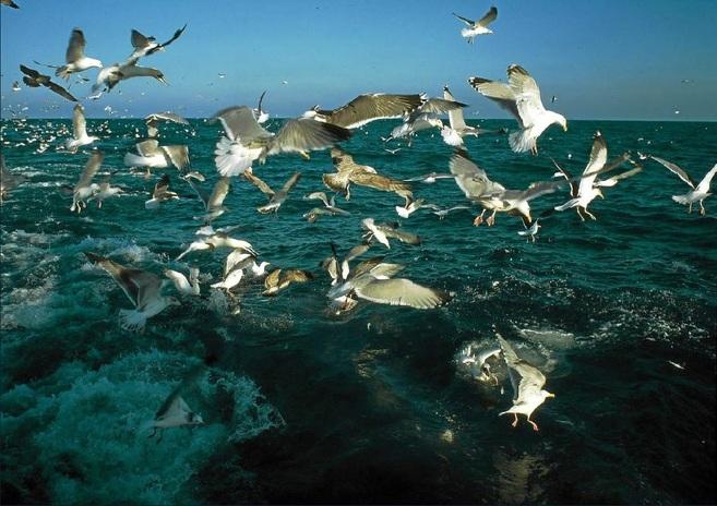 Un bando de gaviotas busca peces en las aguas del Delta del Ebro