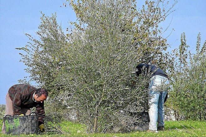 Unos jornaleros trabajan en la recogida de la aceituna en una finca de...