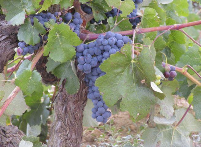 Varios racimos de uvas.