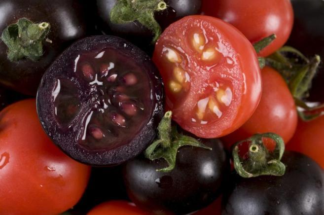 Uno de los tomates morados transgénicos desarrollados en Reino Unido...