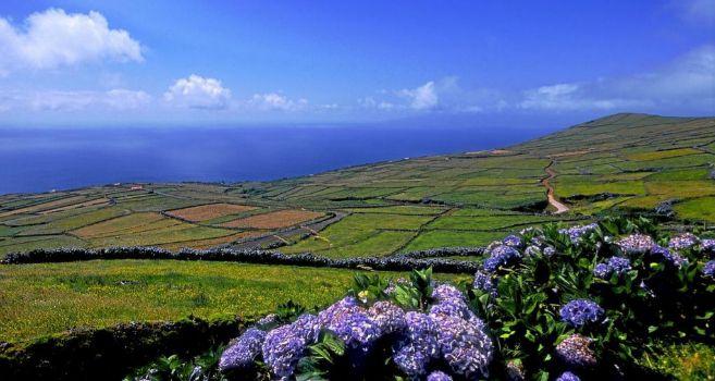 Praderas de pasto rodeadas de hortensias en la isla portuguesa de la...