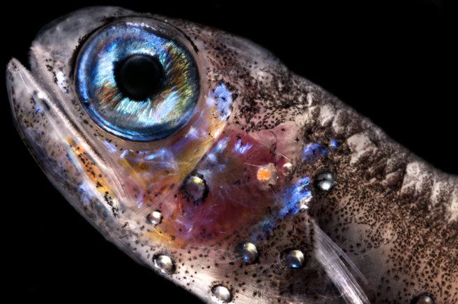 Ejemplar de un pez mesopelágico que se ha analizado en la expedición...