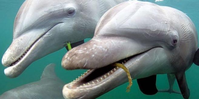 Un delfín con un trozo de alga con el que intentará cortejar a su...