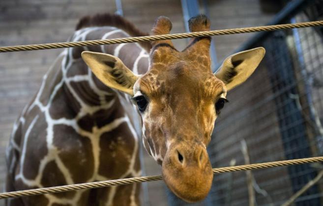 La joven jirafa Marius, poco antes de ser sacrificada.