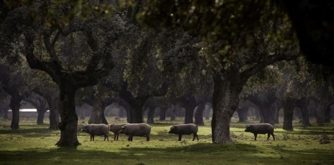 Una piara de cerdos ibéricos en una dehesa de Salamanca.