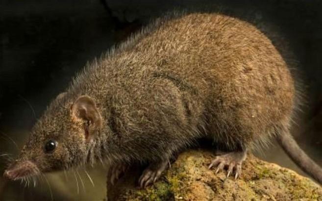 La nueva especie de marsupial conocida como 'Antechinus de cola...
