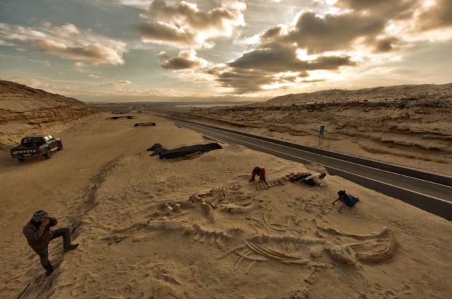 Algunos fósiles de las 40 ballenas que encontraron en Atacama...