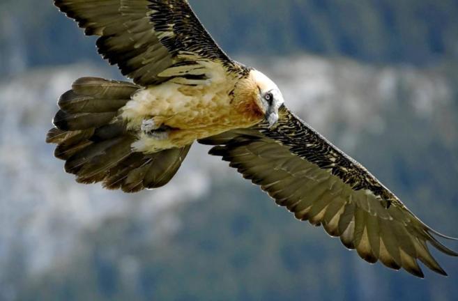 Un quebrantahuesos en pleno vuelo en los Pirineos.