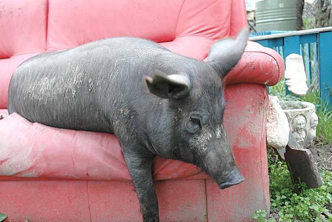 La cerda Daisy retozando en un sofá de su casa.