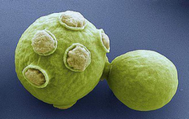 Una célula de la levadura 'Saccharomyces cerevisiae' como...