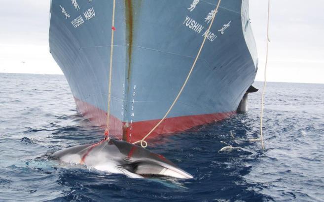 Un barco japonés caza una ballena en aguas antárticas.