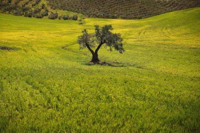 Un olivo rodeado de campo en Ronda, Málaga.