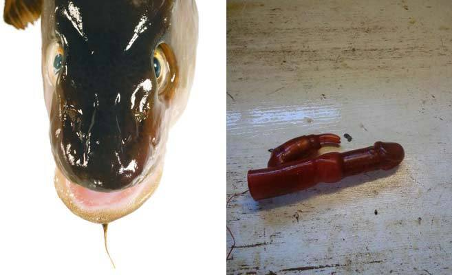 Un bacalao y el vibrador encontrado por Bjørn Frilund.