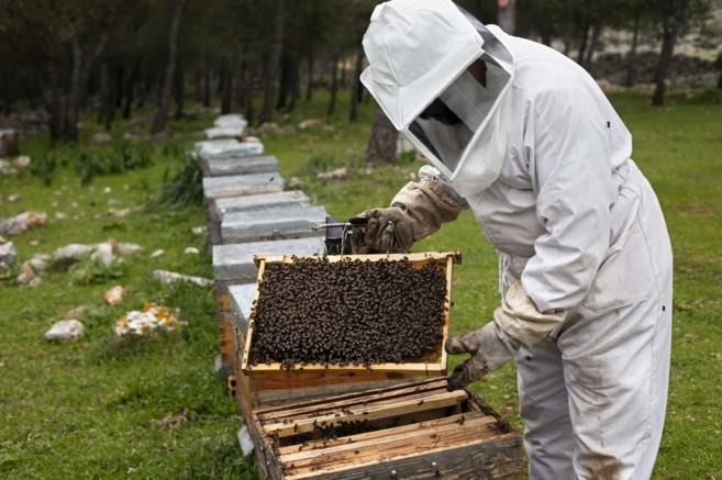 Un apicultor abre uno de los panales.