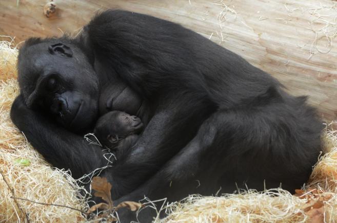 Gorila colecho