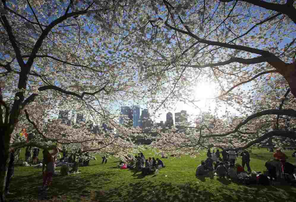 La gente se reñune cerca de los cerezos en flor en el Central Park de...