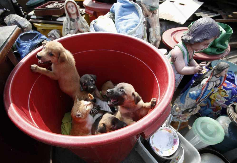 Las mascotas de un habitante de los barrios marginales miran desde un...