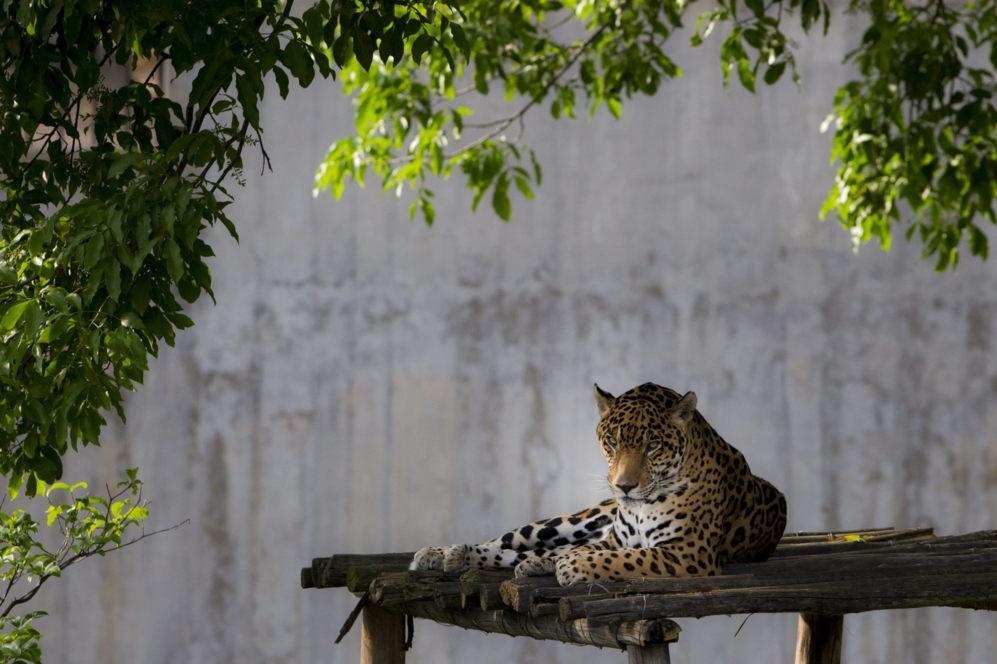 Un jaguar descansa en el parque capitalino 'Miranda' en la ciudad de...