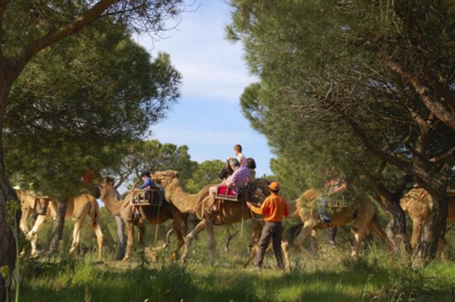Uno de los paseos en dromedario por el parque nacional de Doñana que...