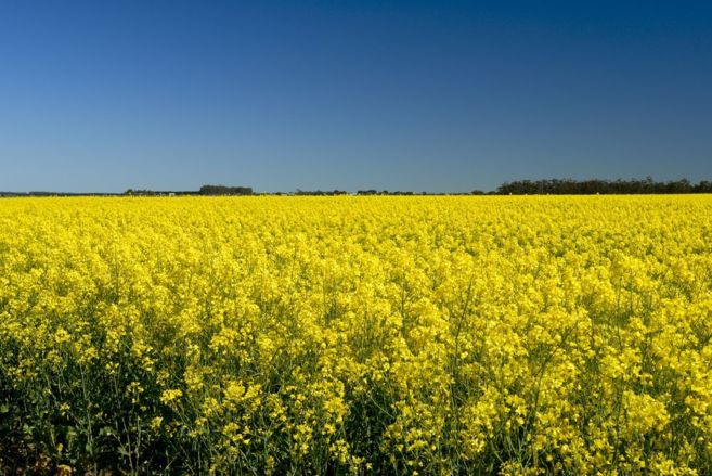 Canola Field, en EEUU, una plantación con 'productos'...