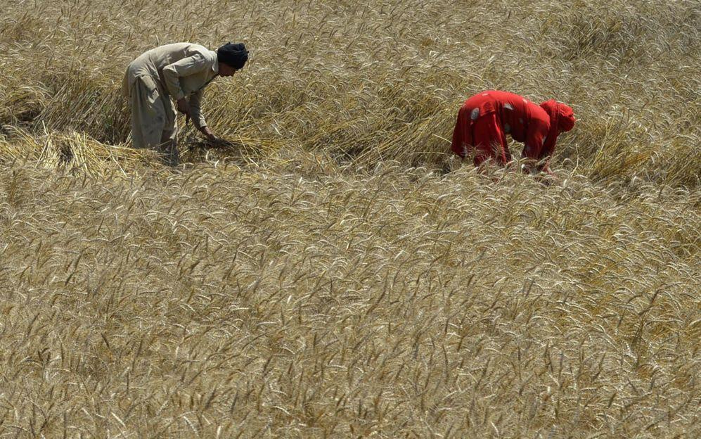 Agricultores paquistaníes cosechan los cultivos de trigo en un campo...
