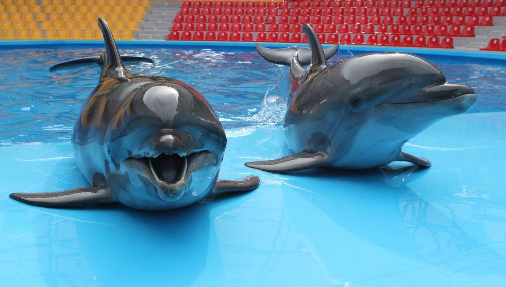 Delfines en una piscina durante el ensayo de un espectáculo.